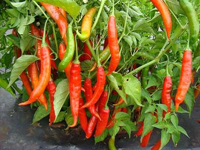 Plantio de pimenta